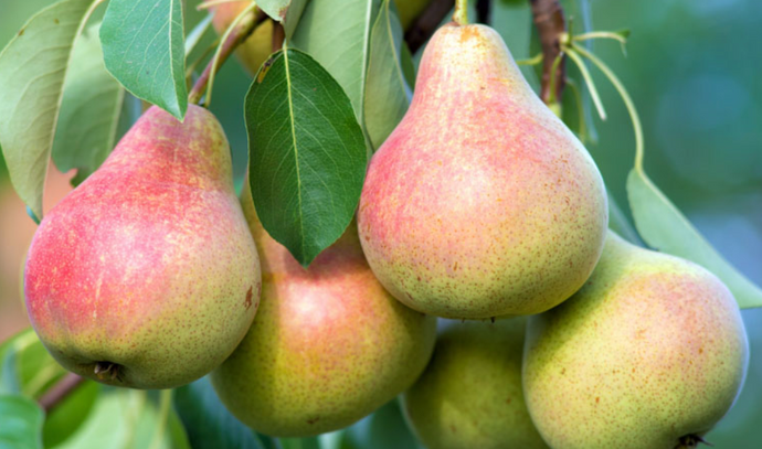 Clapp's Favourite Pear (Bareroot) - Purple Springs Nursery