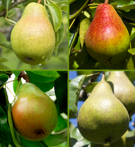 Pear Combination (Bareroot) - Purple Springs Nursery