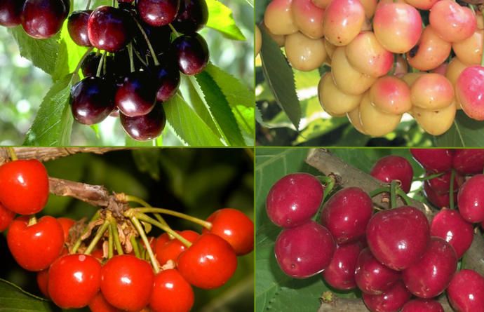 Cherry Combination (Bareroot)