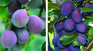 Plum Combination (Bareroot) - Purple Springs Nursery