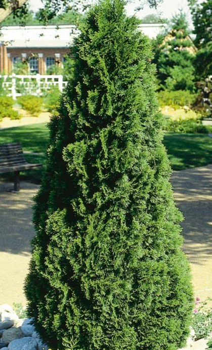 Emerald Green Cedar - Purple Springs Nursery