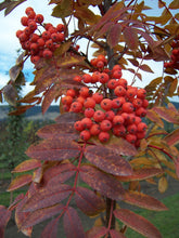 Load image into Gallery viewer, Showy Mountain Ash - Purple Springs Nursery