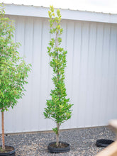 Load image into Gallery viewer, Regal Prince Oak - Purple Springs Nursery