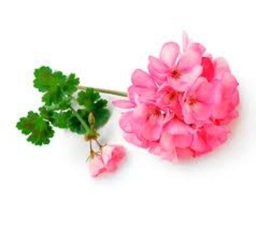 Rose Geranium Premium 10ml