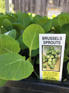 Brussels Sprouts - Cell Pack