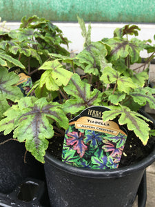 Tiarella - Jeepers Creepers (1 Gallon)