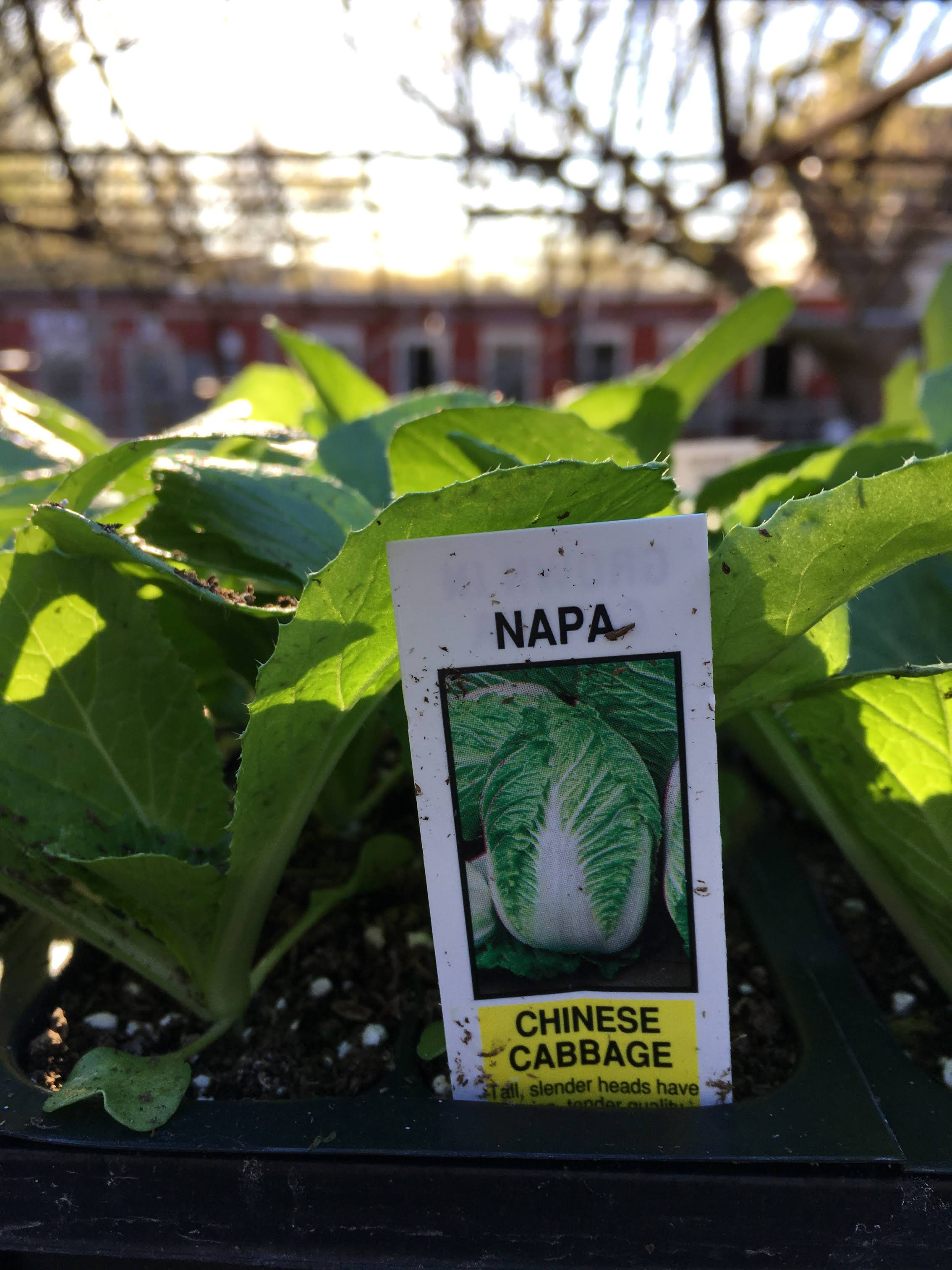 Napa Cabbage - Cell Pack