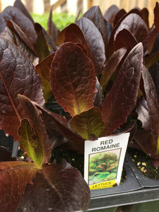 Red Romaine Lettuce - Cell Pack