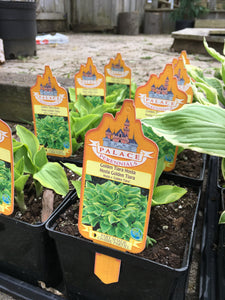 Hosta - Golden Tiara (1 Gallon)