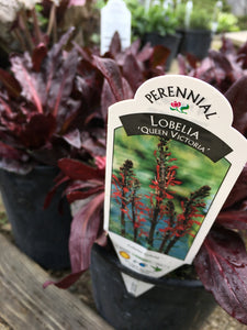 Lobelia - Queen Victoria (1 Gallon)