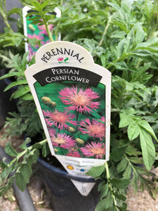 Persian Cornflower (1 Gallon)