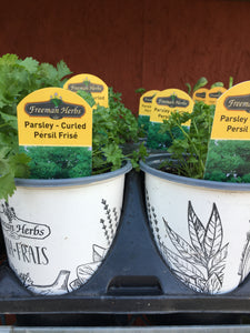 Premium Parsley - Curly