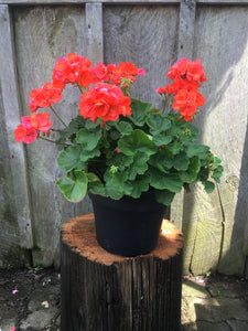 Mother Geranium (12 inch)