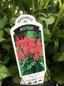 Astilbe - Visions (1 Gallon)