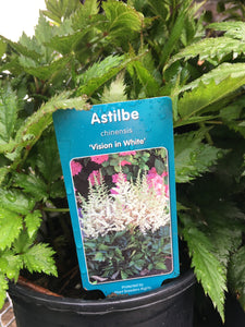Astilbe - Vision in White (1 Gallon)