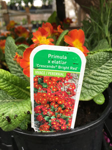 Primula elatior - Crescendo Bright Red (1 Gallon)