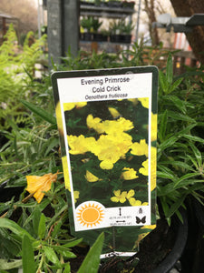 Evening Primrose - Cold Crick (1 Gallon)