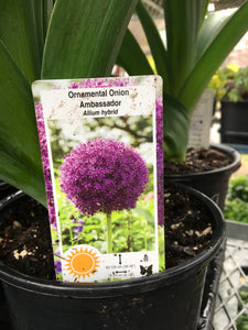 Allium (Ornamental Onion) - Ambassador (1 Gallon)