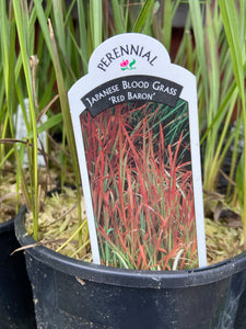 Japanese Blood Grass - Red Baron (1 Gallon)