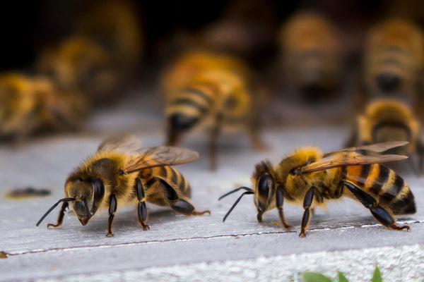 What are the Types of Bees?