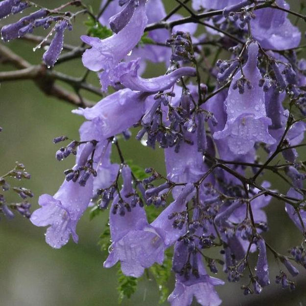 Jacaranda Tree - GRANATE 27