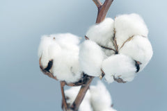 different fabric types this is the cotton plant