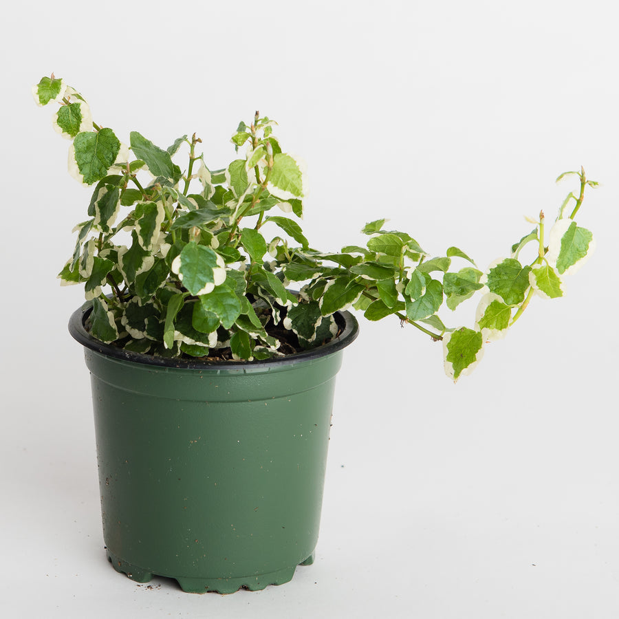 CREEPING FIG - VARIGATED - 4