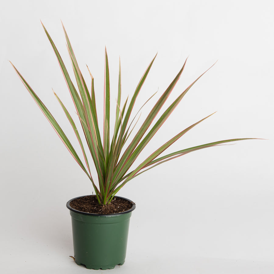 DRACAENA MARGINATA / DRAGON TREE - 4