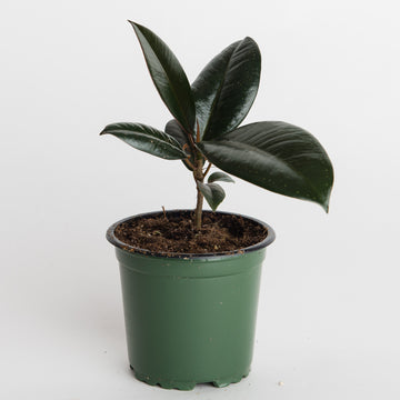 BURGUNDY RUBBER PLANT - 4