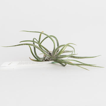 AIRPLANT - T. PRUINOSA - LARGE