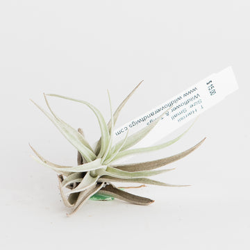 AIRPLANT - T. HARRISII
