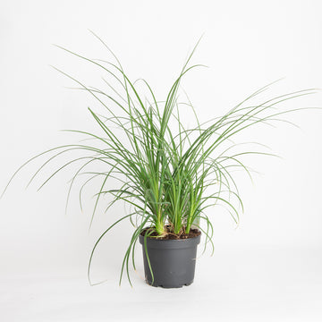 PONYTAIL PALM - 6