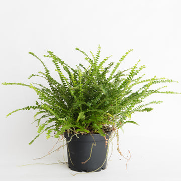 BUTTON FERN - 6