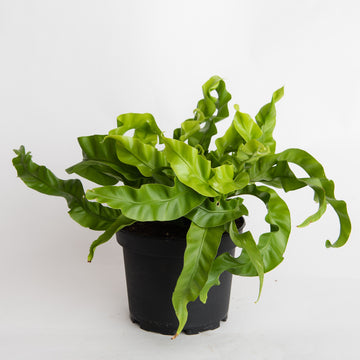 BIRD'S NEST FERN - 6