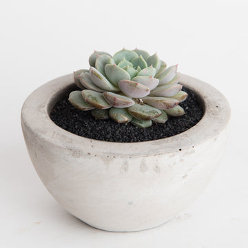 CEMENT POT WITH CLARA ECHEVERIA