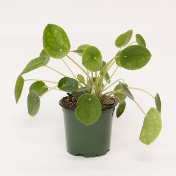 PILEA PEPEROMIOIDES/CHINESE MONEY PLANT - 4