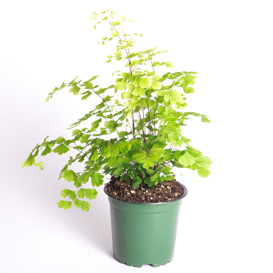 "FRAGRANS MAIDENHAIR FERN - 4"" POT"