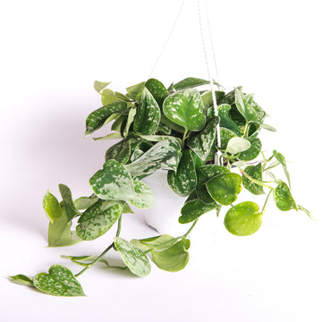 "SILVER SATIN POTHOS - 6"" HANGING POT"