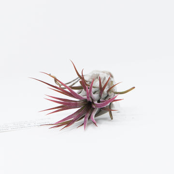 AIRPLANT - T. FLABELLATA RUBRA - LARGE
