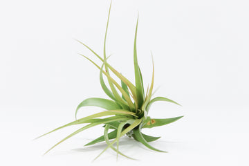 AIRPLANT - T. BRACHYCAULOS V. MULTIFLORA - LARGE