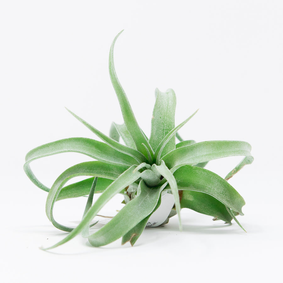 AIRPLANT - T. STREPTOPHYLIA - MEDIUM