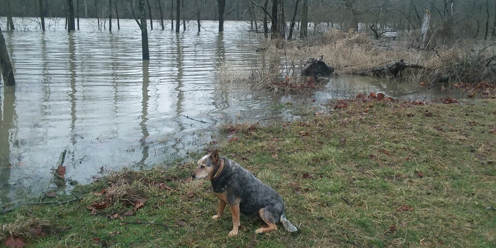 The Fleming Family Farmdog, Dish, sitting next to a flooded area.