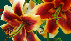 Lily Lilium ( 100 years )  x1 Bulb-Tuber