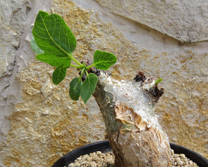 Commiphora guidottii (5 Seeds) Caudex