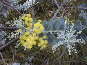 Queensland Silver Wattle (10 Seeds)