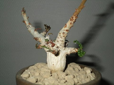 Boswellia Nana LIVE PLANT #893 For Sale