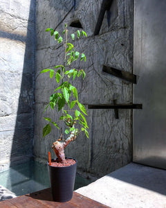 Commiphora africana LIVE PLANT #5571 For Sale