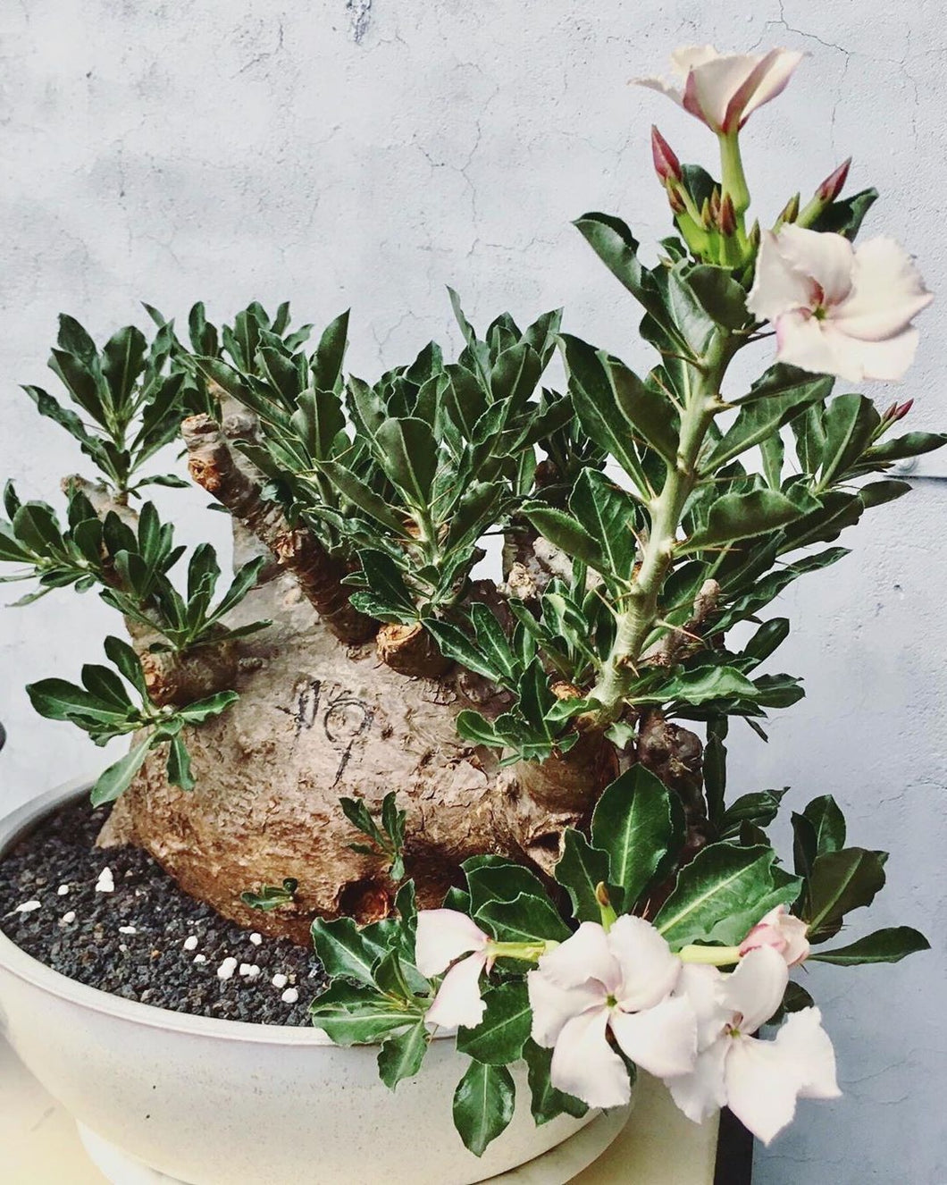 Pachypodium saundersii LIVE PLANT #0554 For Sale