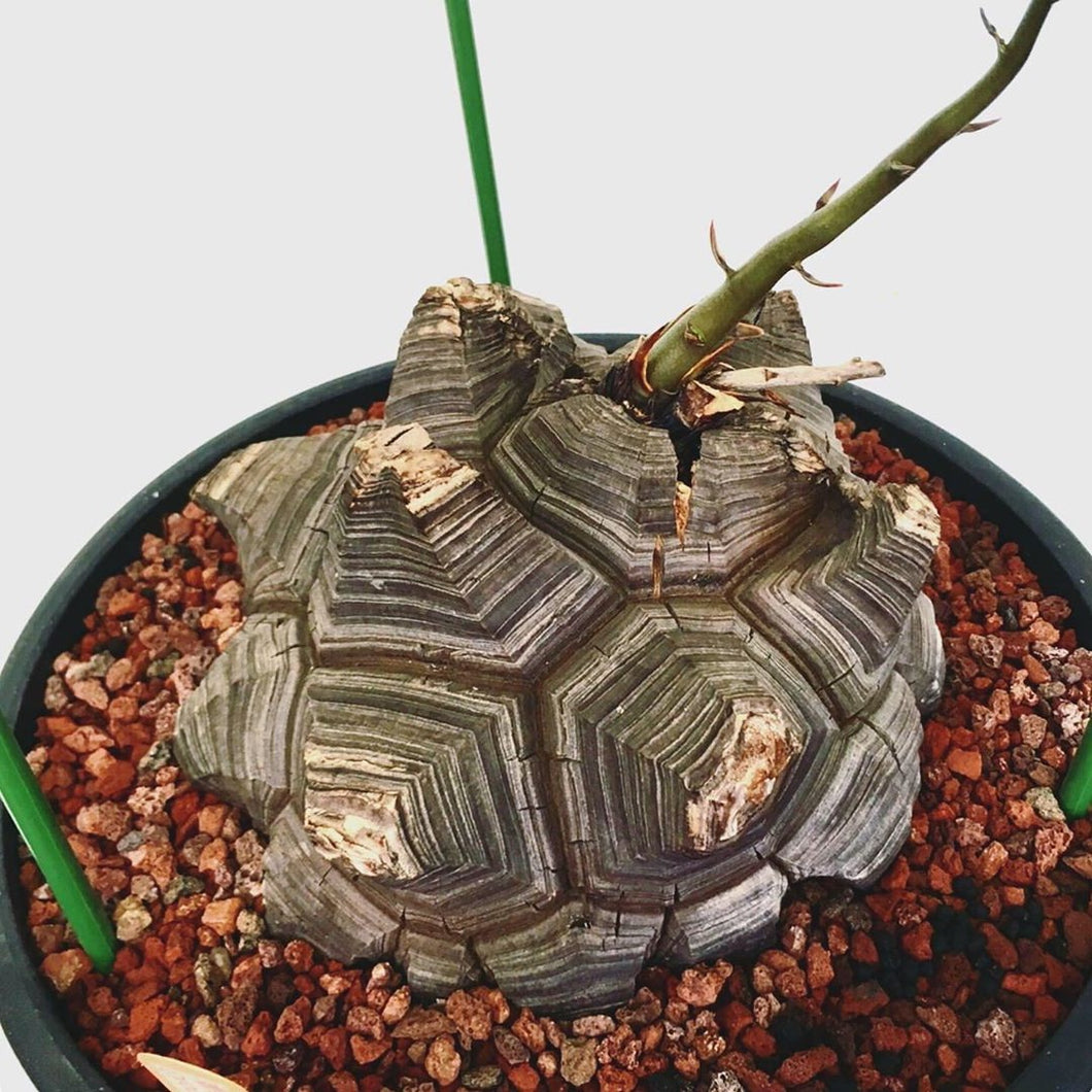 Dioscorea elephantipes LIVE PLANT #54385 For Sale