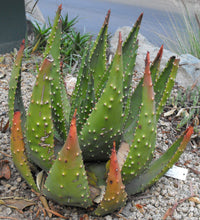 Load image into Gallery viewer, Aloe aculeata ngopanie 10 seeds